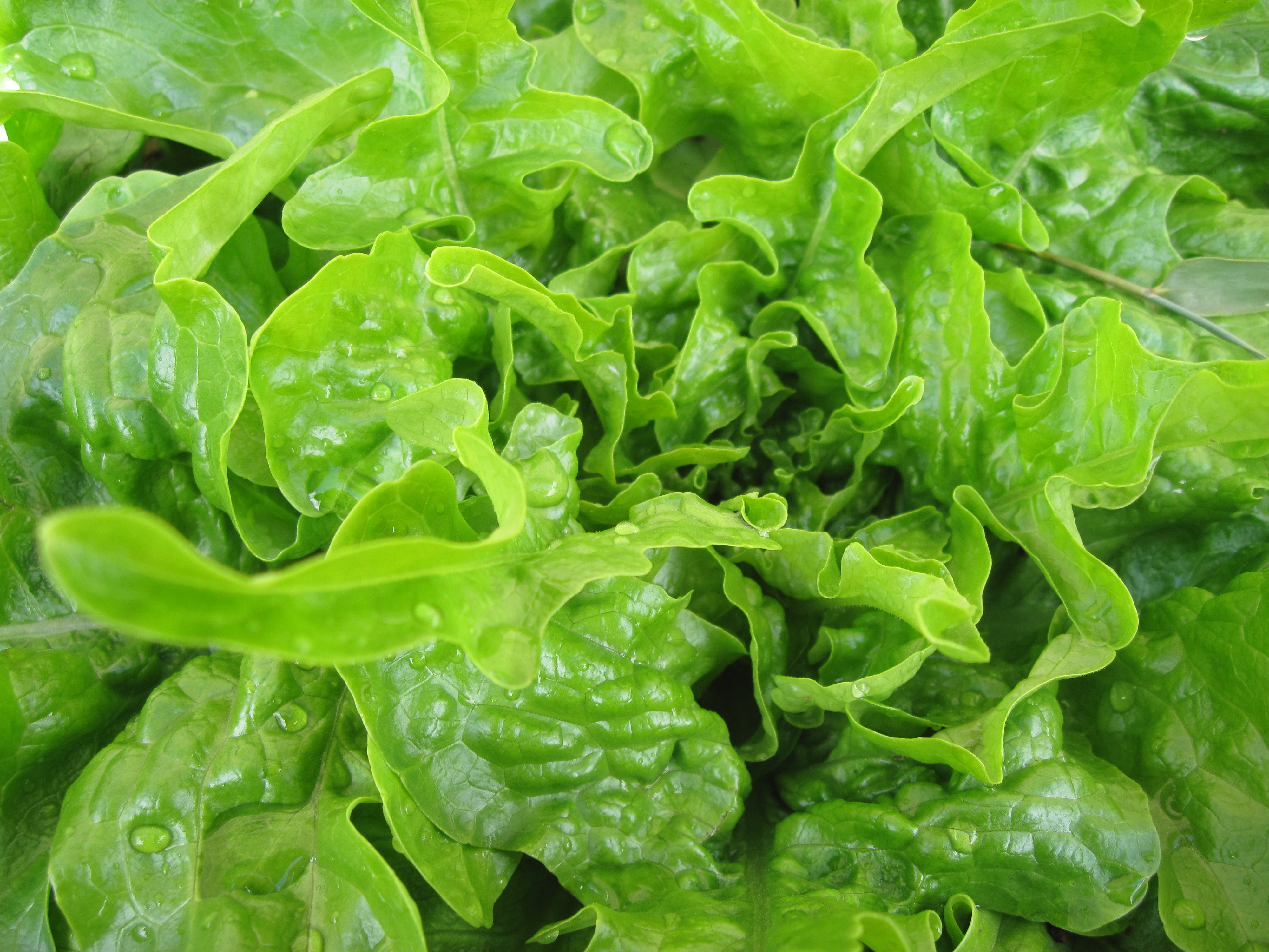 Oak Leaf Lettuce Oak L...