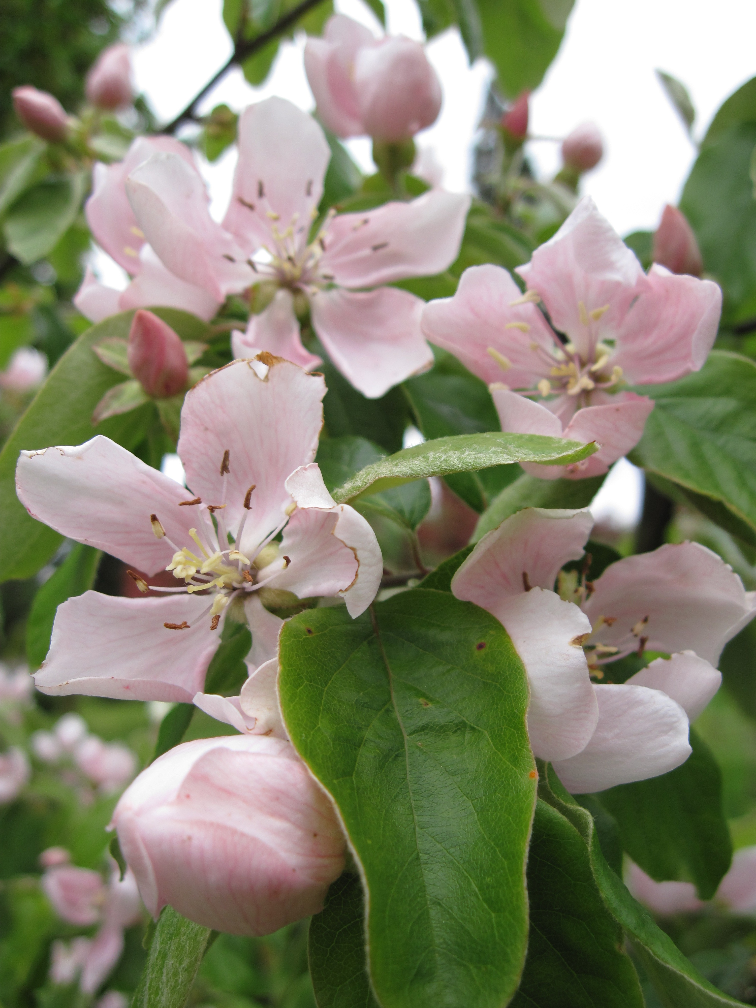 A Quince Essential Fruit - How to Grow Quince Trees