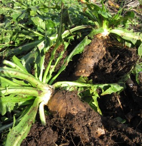 chicory roots, fresh dug