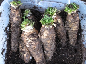 chicory roots, trimmed