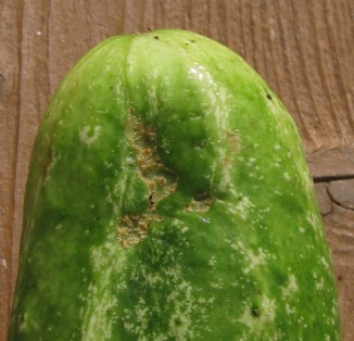 A cucumber beetle scar on another variety