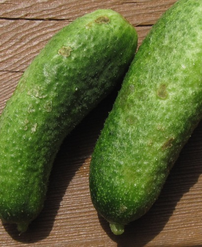 cuke beetle scars on Agnes