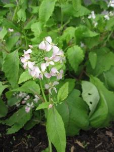 flowering radish