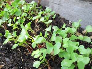 red-stemmed kaiware sprouts