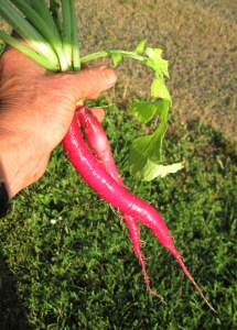 long red radish
