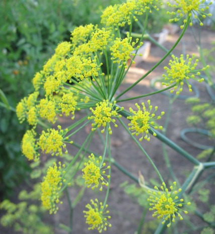fennel head 2