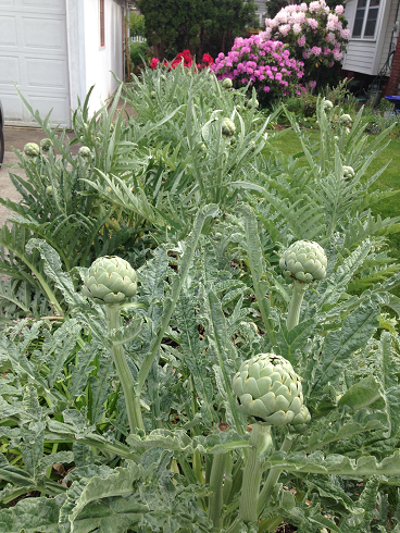 artichoke plants, small