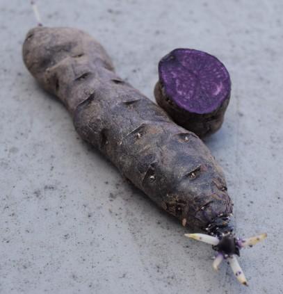 Purple Peruvian potato